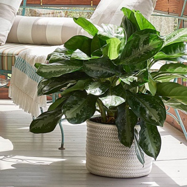 Holiday gifts from white flower farm that never fail to please indoor foliage 20 159 mightylinksfo Choice Image